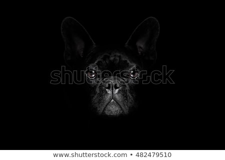 Stock photo: French bulldog look at you in gray studio