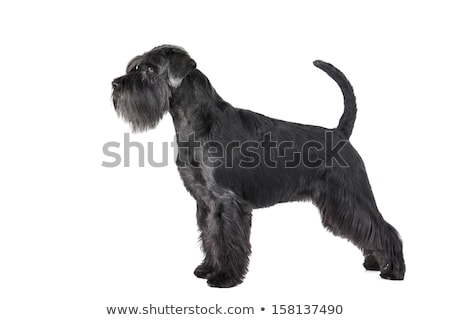 Stock photo: Miniature Schnauzer standard in a black studio background