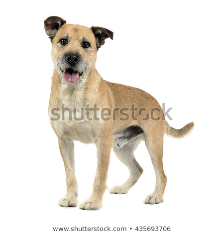 Stock photo: Brown color wired hair mixed breed dog in a white studio