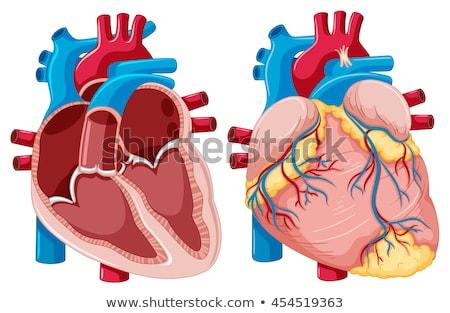 anatómia · emberi · szív · fehér · 3d · illusztráció · orvosi - stock fotó © tussik