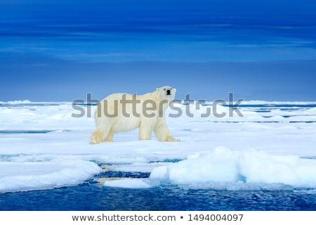 полярный медведь айсберг иллюстрация природы снега фон Сток-фото © bluering