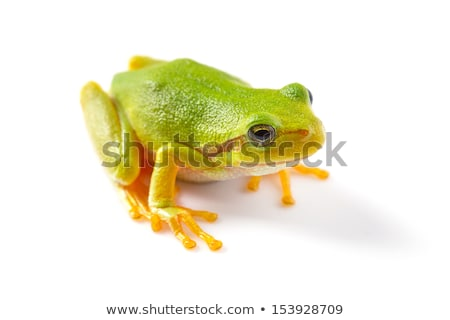 cute tree frog over white background stock photo © taviphoto