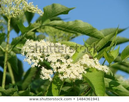 blooming elder or elderberry bush leaves stock photo © stevanovicigor