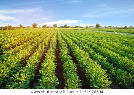 Verde arbusto batatas crescente para cima comida Foto stock © ssuaphoto