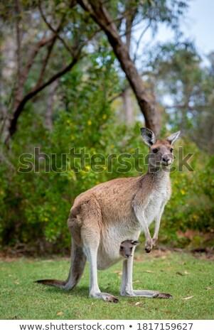 Standing kangaroo Stock photo © 5xinc