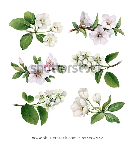 geïsoleerd · mooie · kersenbloesem · boom · vector · voorjaar - stockfoto © balasoiu