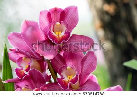 close up of lilac cymbidium orchid stock photo © arsgera