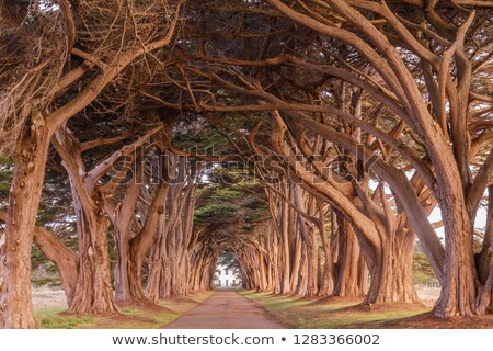 Cypress Tree Tunnel painted in golden light during sunrise stock photo © yhelfman