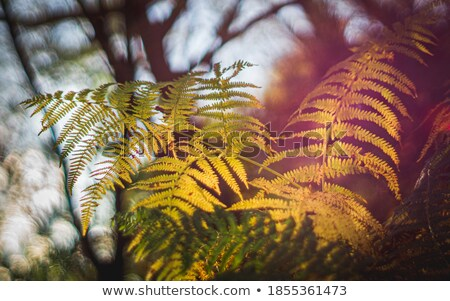 Bracken fern leaf, backlit by the sun in woodland Stock photo © sarahdoow