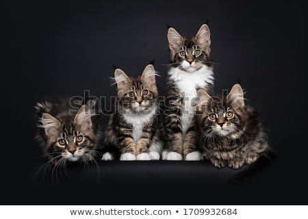 Row of four Maine Coon cats / kittens stock photo © CatchyImages