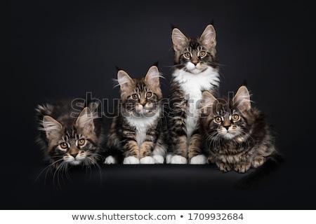 Fila quattro Maine gatti gattini seduta Foto d'archivio © CatchyImages