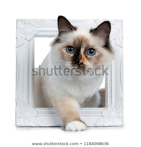 Huncut szent macska kiscica izolált fehér Stock fotó © CatchyImages
