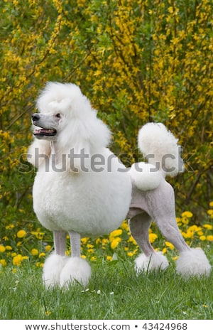 portrait of white king poodle on white stock photo © catchyimages