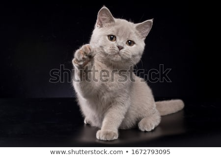 Lilac British Shorthair kitten on black Stock photo © CatchyImages