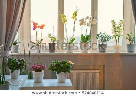 blossoming orchid flowers with sunny light in glass windows stock photo © ansonstock