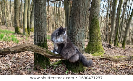 Norwegian Forest Cat portrait Stock photo © prill