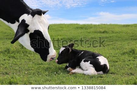 корова · посмотреть · глаза · счастливым · голову · уха - Сток-фото © mobi68