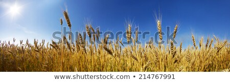 Stock photo: farm has fields of wheat