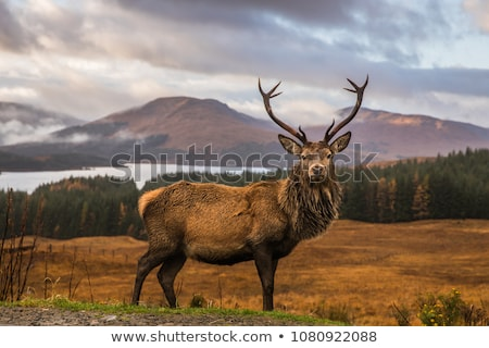 Stag Stock photo © RTimages