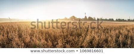 haver · veld · zon · zonnige · klaar · oogst - stockfoto © RachelD32
