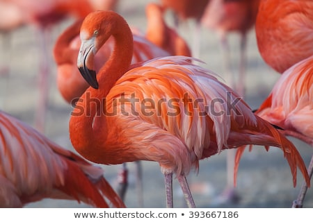 Pink Orange Caribbean Flamingo Feathers Stock photo © billperry