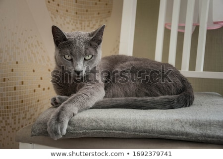 Stock photo: Russian Blue cat on white .