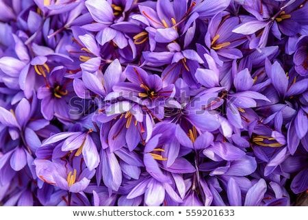 Detailed view of the purple saffron flowers. Stock photo © frank11