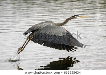 grey heron over blue sky stock photo © taviphoto