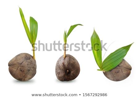 семян · гайка · тропические · субтропический · нефть - Сток-фото © rghenry