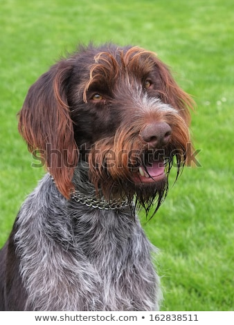 the typical bohemian wire haired pointing griffon stock photo © capturelight