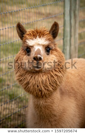 Brown Alpaca Stock photo © rghenry
