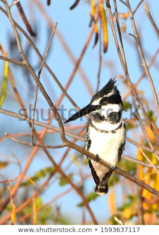 Male Pied Kingfisher (Ceryle rudis) perched on the bank Stock photo © davemontreuil