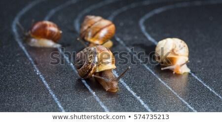 Snail Sprinter Stock photo © derocz