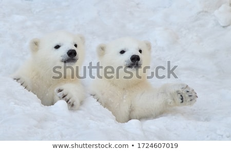 belo · retro · urso · polar · projeto · vetor - foto stock © littlelion