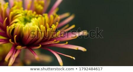 明るい 黄色 デイジーチェーン 春 自然 黒 ストックフォト © chris2k