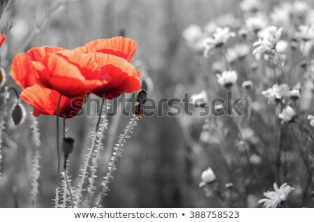 Rood poppy bloem bee Stockfoto © stocker