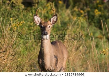 közelkép · szarvas · természet · szín · fiatal · állat - stock fotó © clearviewstock