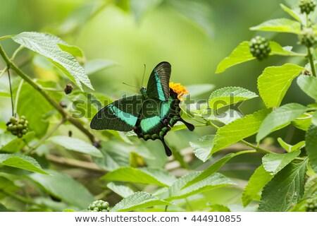 Pavo real naturaleza aves animales brillante día Foto stock © gemenacom
