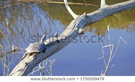 Pár teknősök ül erdő tó család Stock fotó © Pruser