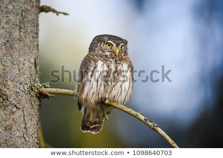 the eurasian pygmy owl glaucidium passerinum stock photo © t3rmiit