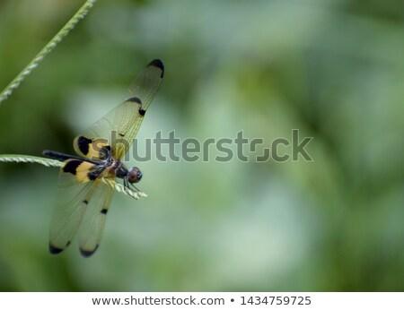 желтый черный трава насекомое крошечный ходьбе Сток-фото © ziprashantzi