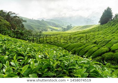 tea · farm · ködös · reggel · természet · tájkép - stock fotó © szefei