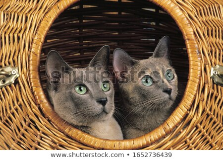 Tonkinese cat  Stock photo © laciatek