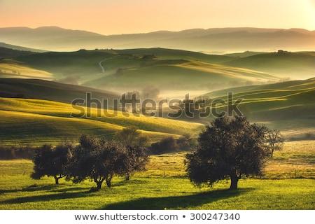 Sunrise and olive tree Stock photo © alphaspirit