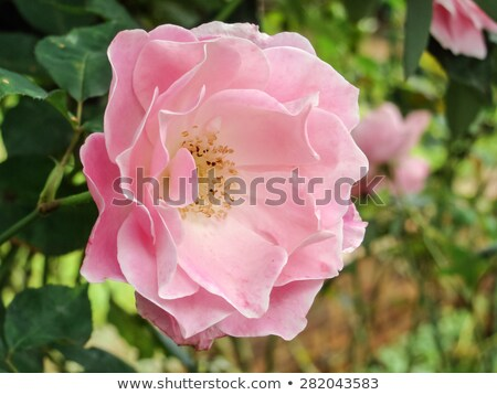 A branch of wild rose Stock photo © Kotenko