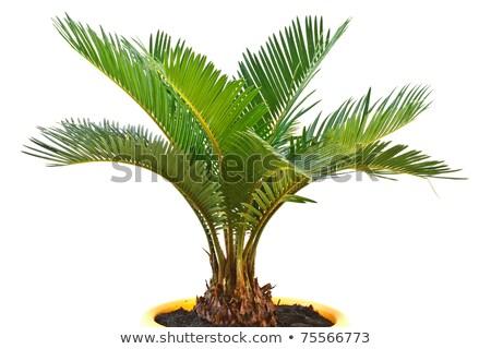 Trópusi káposzta pálma fehér Stock fotó © adamfaheydesigns