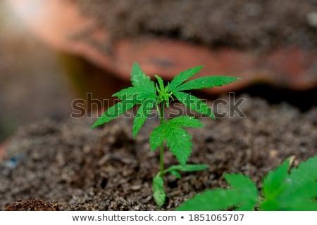 Marihuána levelek fehér háttér felirat fekete Stock fotó © bluering