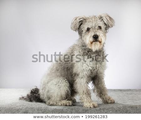 Stock photo: Hungarian Shepherd dog pumi sitting in the white studio