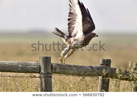 Swainson's Hawk taking flight in Saskatchewan Stock photo © pictureguy