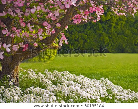 Stockfoto: Pink Blooms Adorn A Dogwood Tree